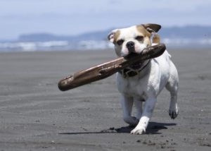Royal Frenchel puppy carrying a stick on the beach