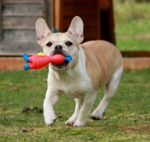 micro mini royal frenchel bulldog