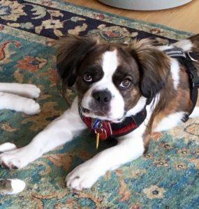 Royal Frenchel Ethan puppy