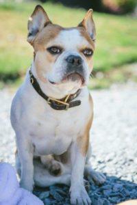Royal Frenchel Adult Dog