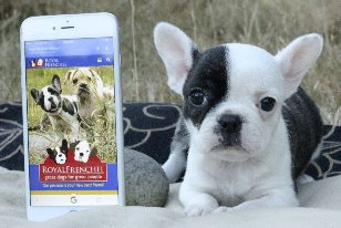 Royal Frenchel Bulldogs: Authentic Puppies for Sale (See