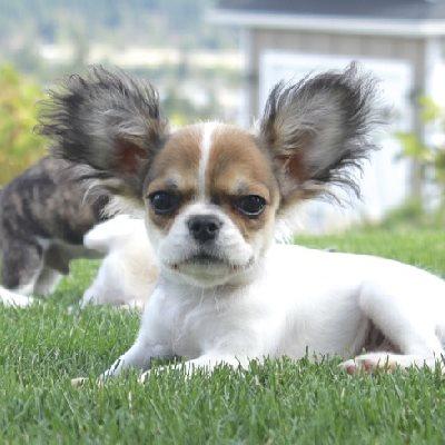 Teacup French Bulldog vs Royal Frenchel Micro Mini | Royal