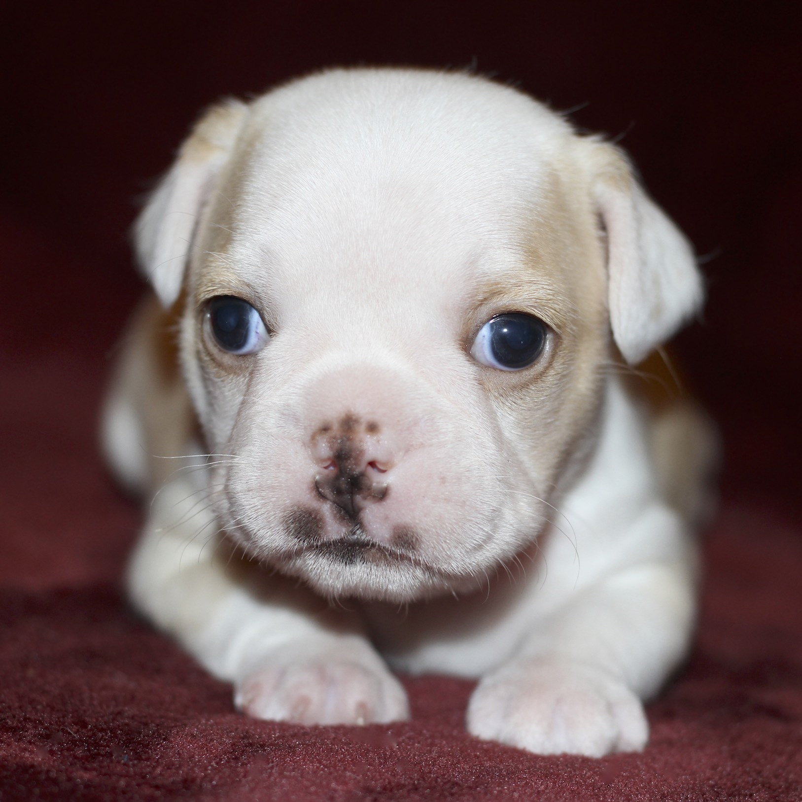 French Bulldogs For Sale - Royal Frenchel